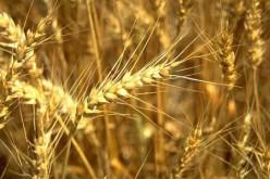 Мировой спрос на зерно и масличные культуры будет опережать производство