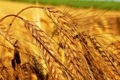 Котировки пшеницы в США и в Европе продолжают капитуляцию