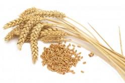 Вчера котировки пшеницы в Европе пытались подняться, а в Америке снизились